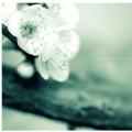 那些年我们的樱花恋